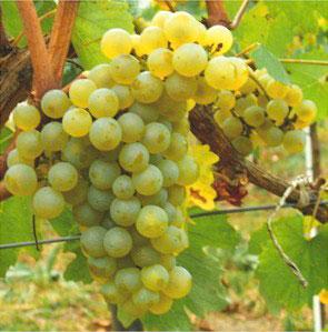 chardonnay-grapes