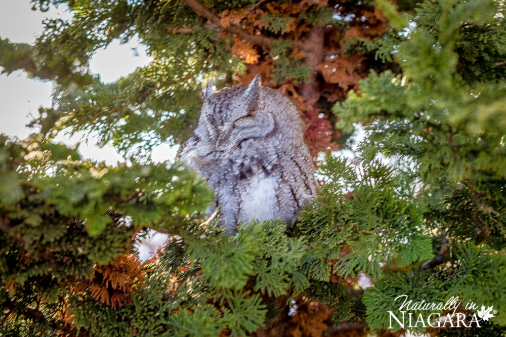 Sleepy little owl at Konzelmann Estate Winery